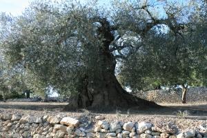 Olivera mil·lenària a Ulldecona