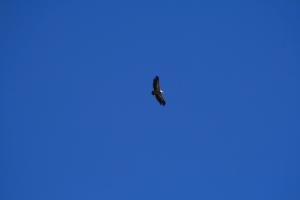 Voltor per sobre d'Ares del Maestrat